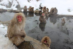 snow-monkeys-1394883__340